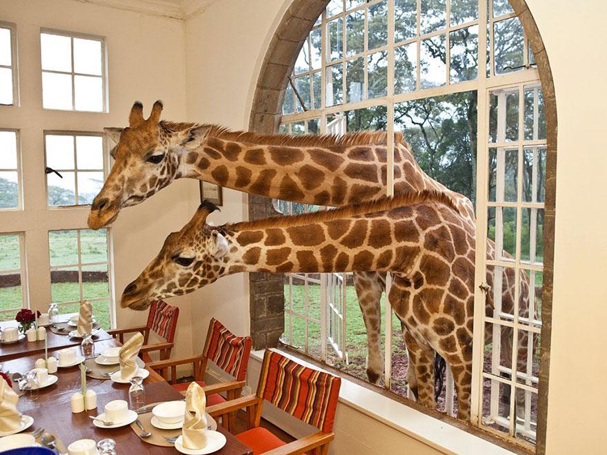 giraffe_manor_kenya_5_3