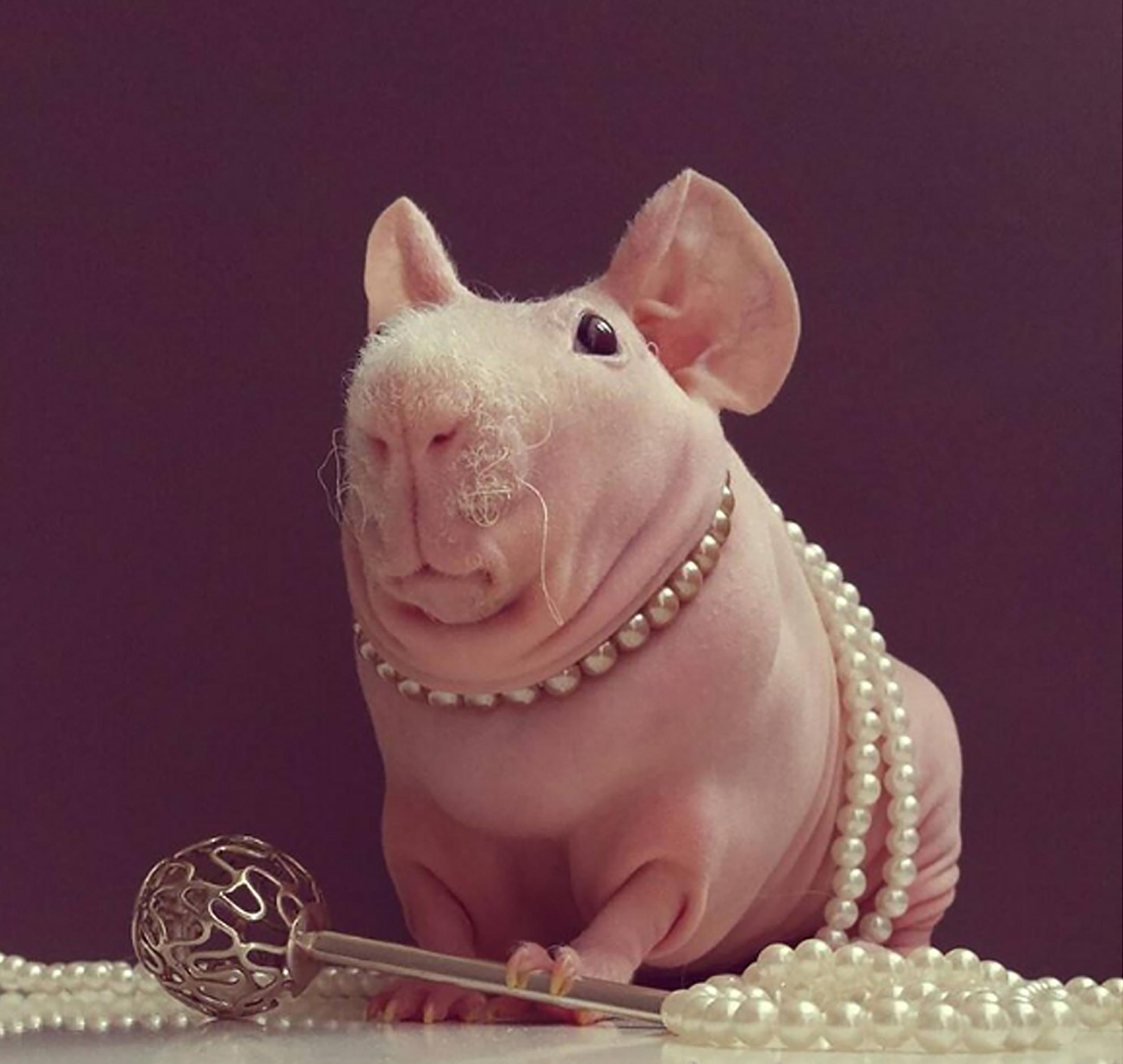 Guinea Pig. Photo 1_1.