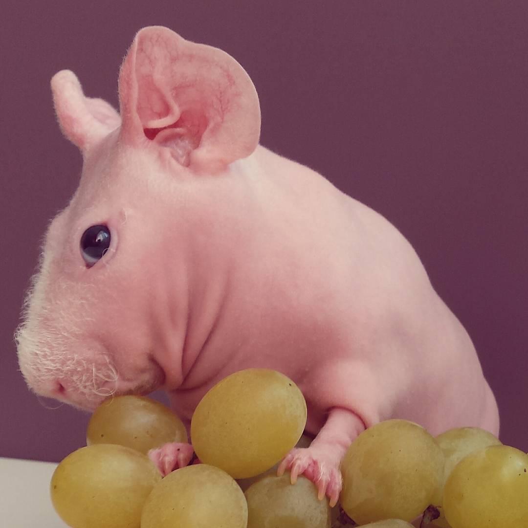 Guinea Pig. Photo 1_2.