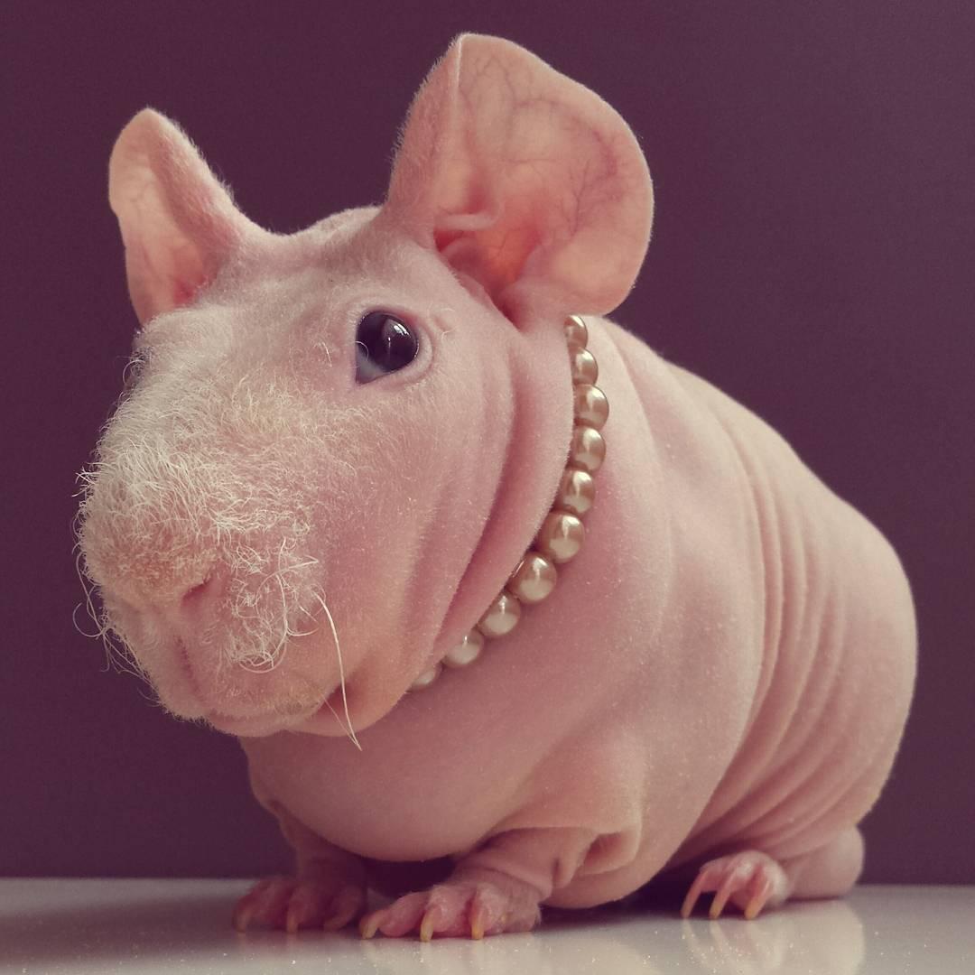 Guinea Pig. Photo 1_3.