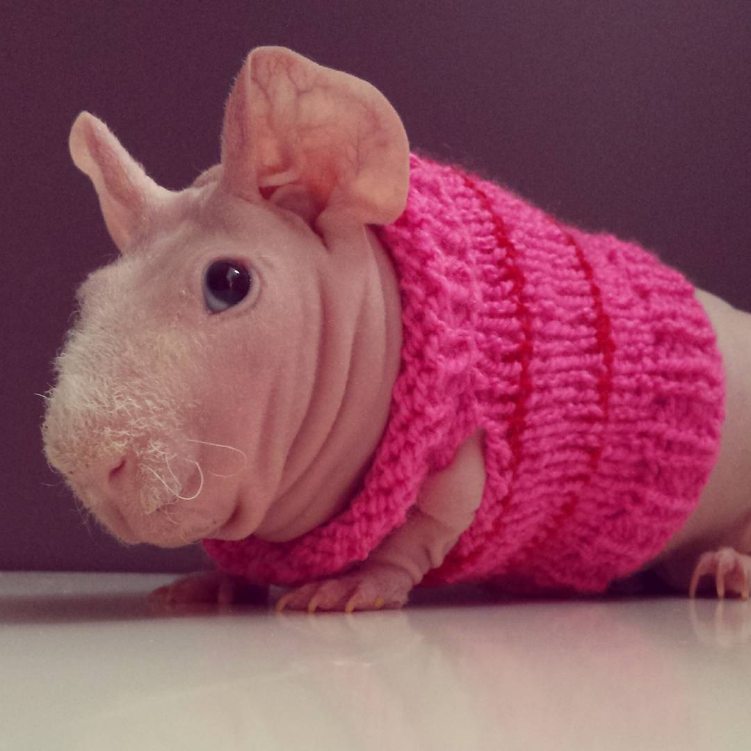 Guinea Pig. Photo 2_2.