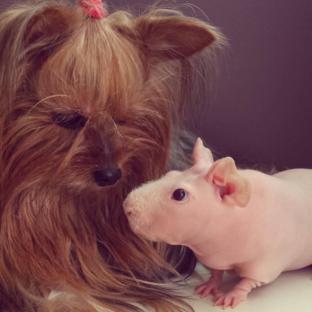 Guinea Pig. Photo 4_1.