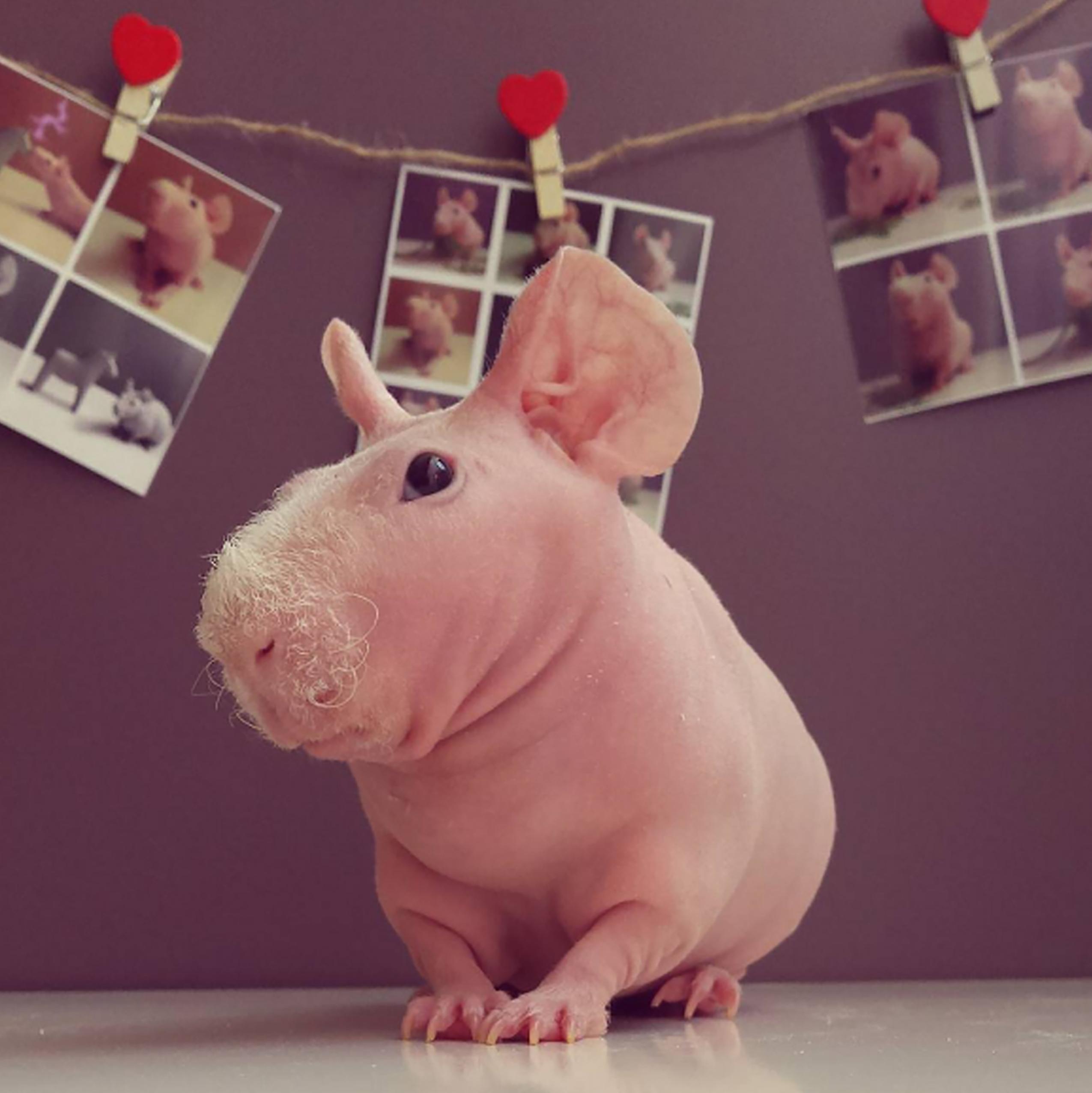 Guinea Pig. Photo 5_1.