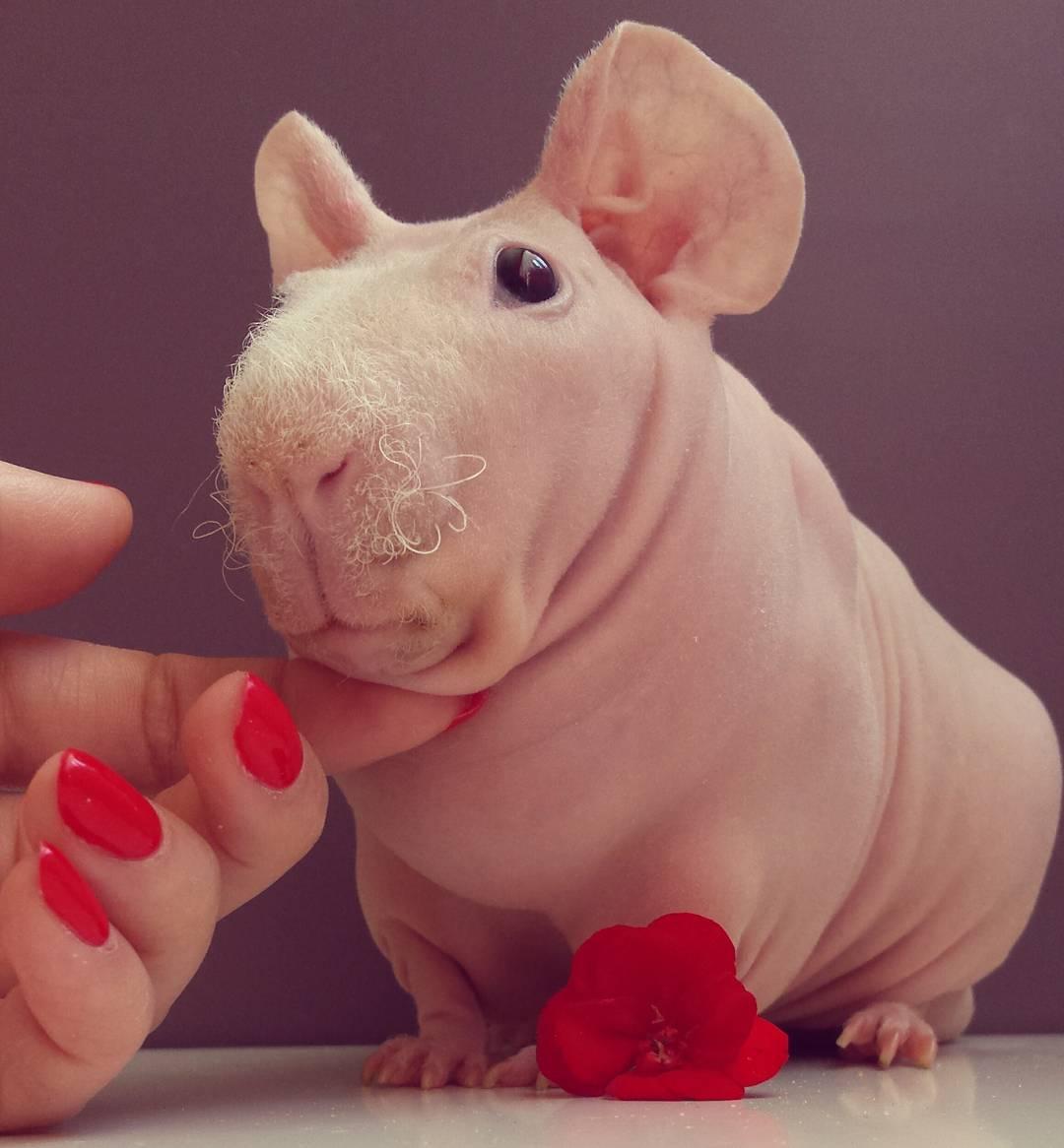 Guinea Pig. Photo 5_2.