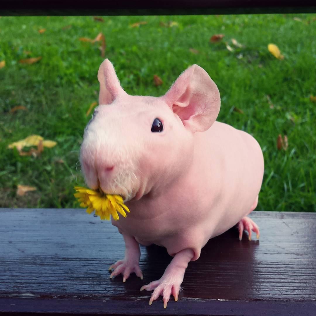Guinea Pig. Photo 8_1.
