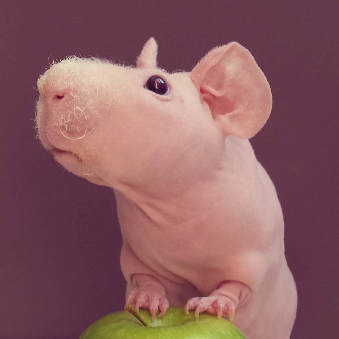 Guinea Pig. Photo 6_1.