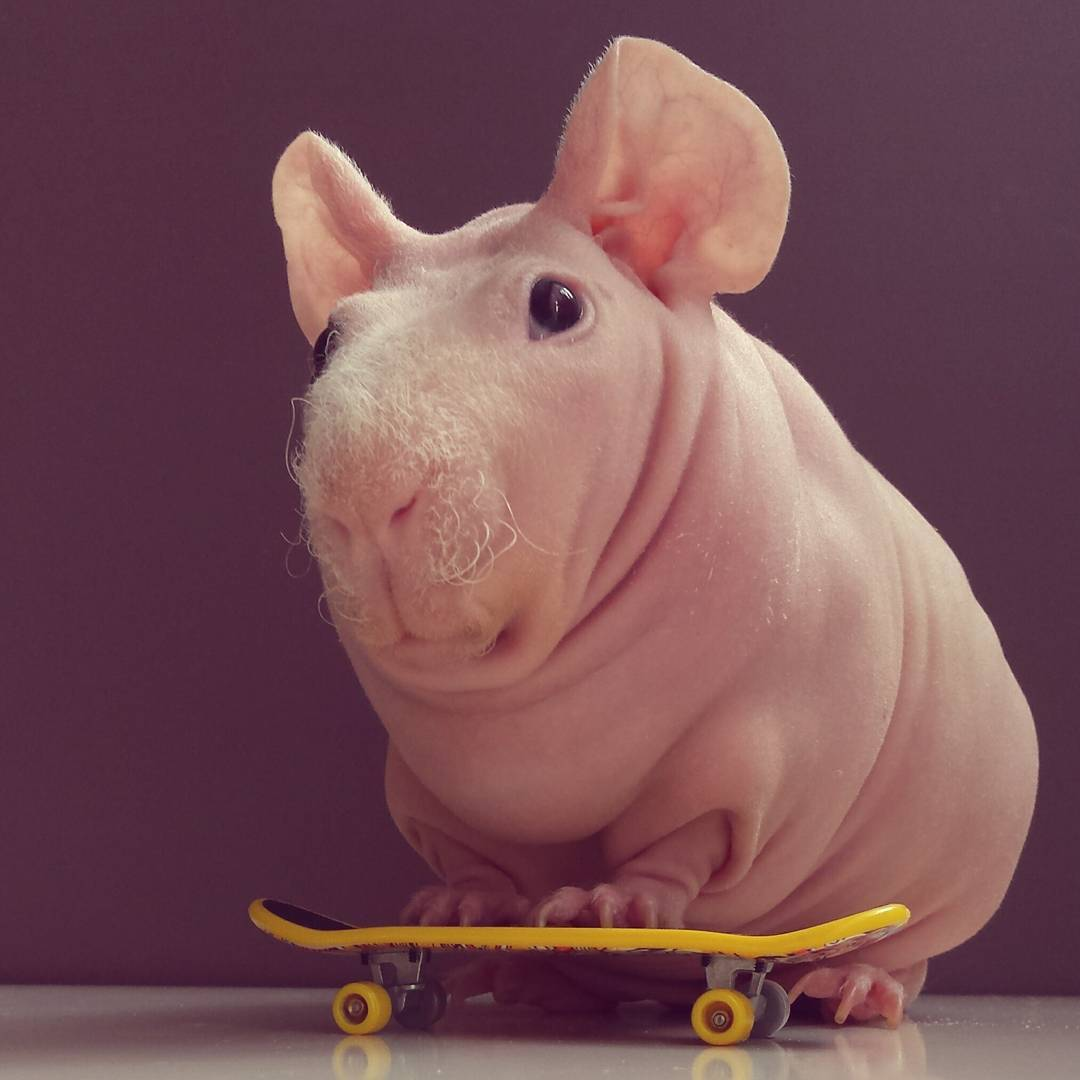 Guinea Pig. Photo 6_2.