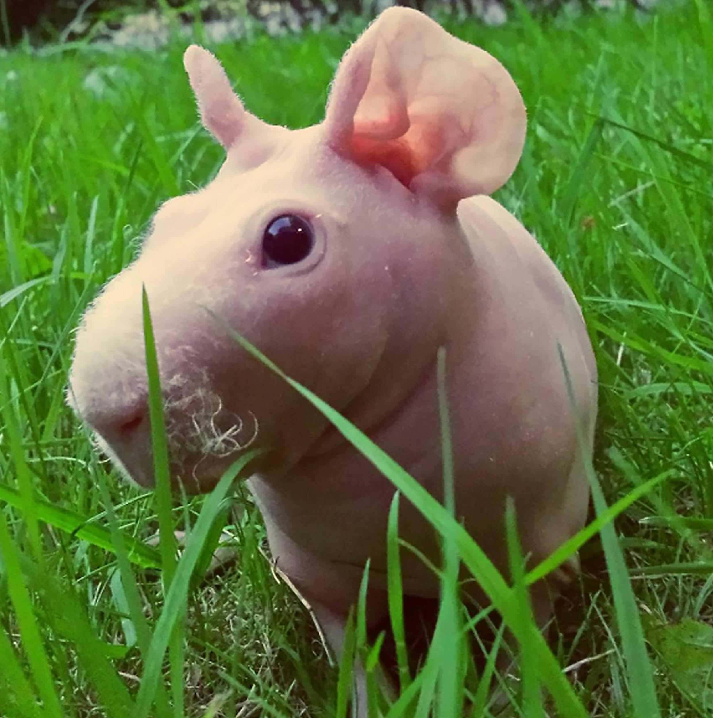 Guinea Pig. Photo 6_3.