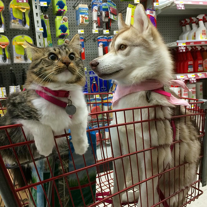 huskies_best_friends_with_a_kitten_11