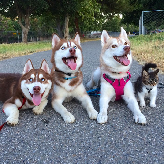 huskies_best_friends_with_a_kitten_13