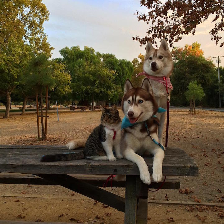 huskies_best_friends_with_a_kitten_15