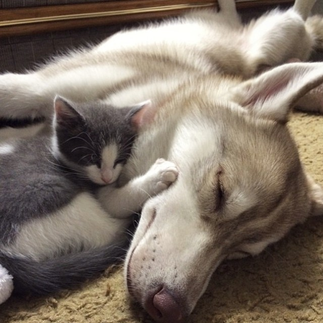 huskies_best_friends_with_a_kitten_2