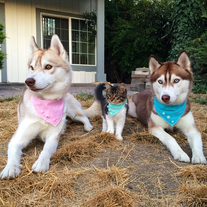 huskies_best_friends_with_a_kitten_6