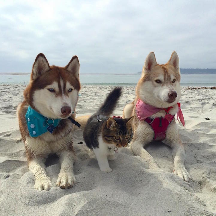 huskies_best_friends_with_a_kitten_8