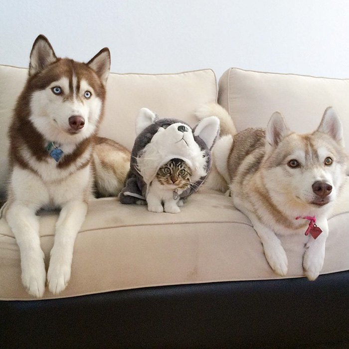 huskies_best_friends_with_a_kitten_9
