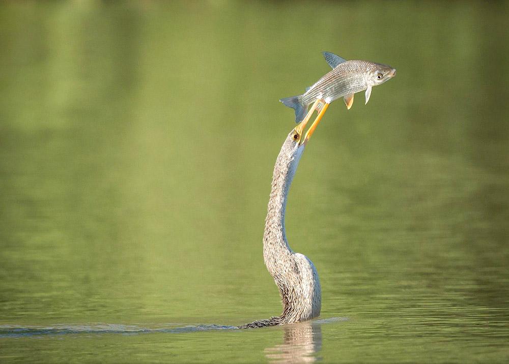 მცურავი ფრინველი და მფრინავი თევზი