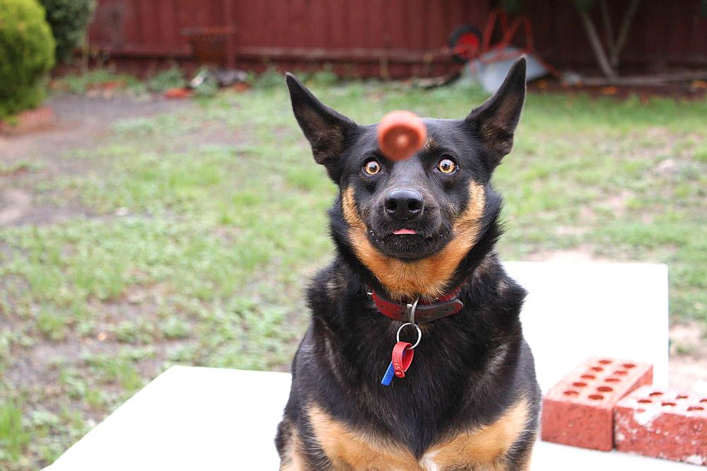 სოსისის ნაჭერს შეუძლია ძაღლი დააჰიპნოზოს