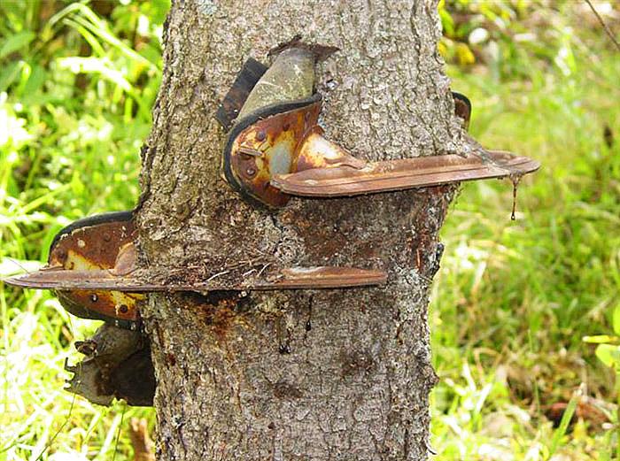 ახალგაზრდობაში, ერთმა კაცმა პატარა ხეზე ციგურები ჩამოკიდა. მას დაავიწყდა სად დატოვა ისინი და წლებისშემდეგ ასეთ მდგომარეობაში იპოვა
