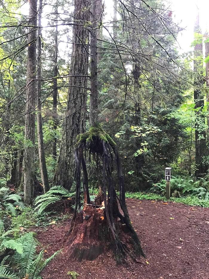 ეს ხე მკვდარი ხის მორისგან გაიზარდა