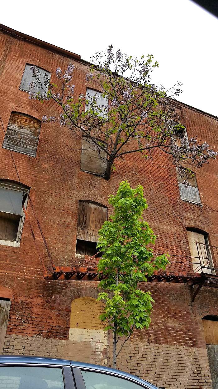 ხე გაიზარდა მესამე სართულის ფანჯრიდან