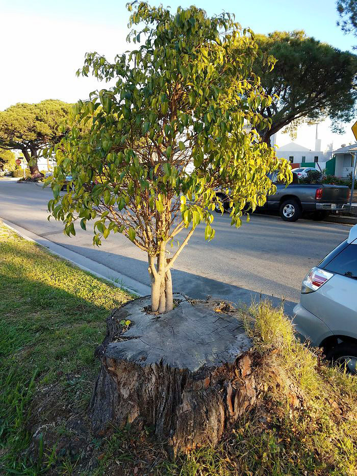 ეს ხე გადაჭრილი ხიდან ამოიზარდა