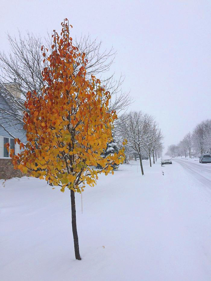 ჩემს ქუჩაზე ერთი მეამბოხე ხეა, ის ზამთრის მოსვლას არ აღიარებს