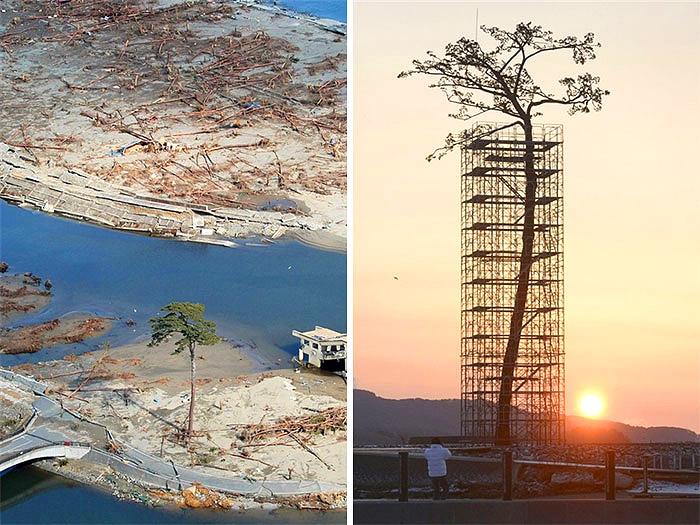 არსებულ 70,000 ხეს შორის, მხოლოდ ეს ხე გადაურჩა იაპონიაში მომხდარ ცუნამს. დღეს ის დაცული და აღდგენილია