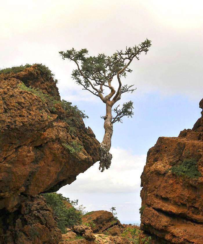 ეს ხე დაჟინებით ეძებს სიცოცხლეს