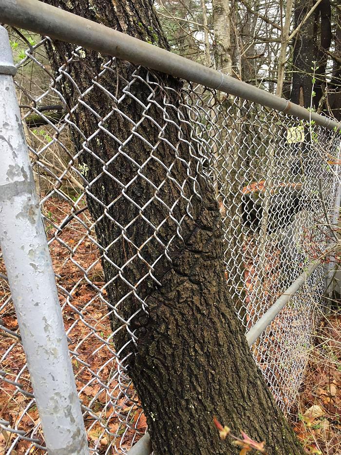 ეს ხე ღობის არსებობას სულაც არ იმჩნევს, უბრალოდ იზრდება