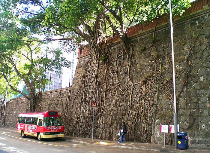 ქვის კედელზე გაზრდილი ხეები Forbes Street-ზე Kennedy Town-ში (ჰონგ-კონგი)