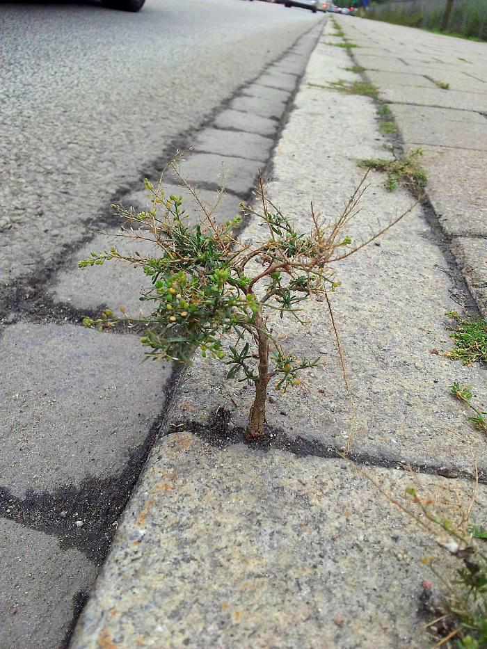 პატარა ხე ტროტუარზე