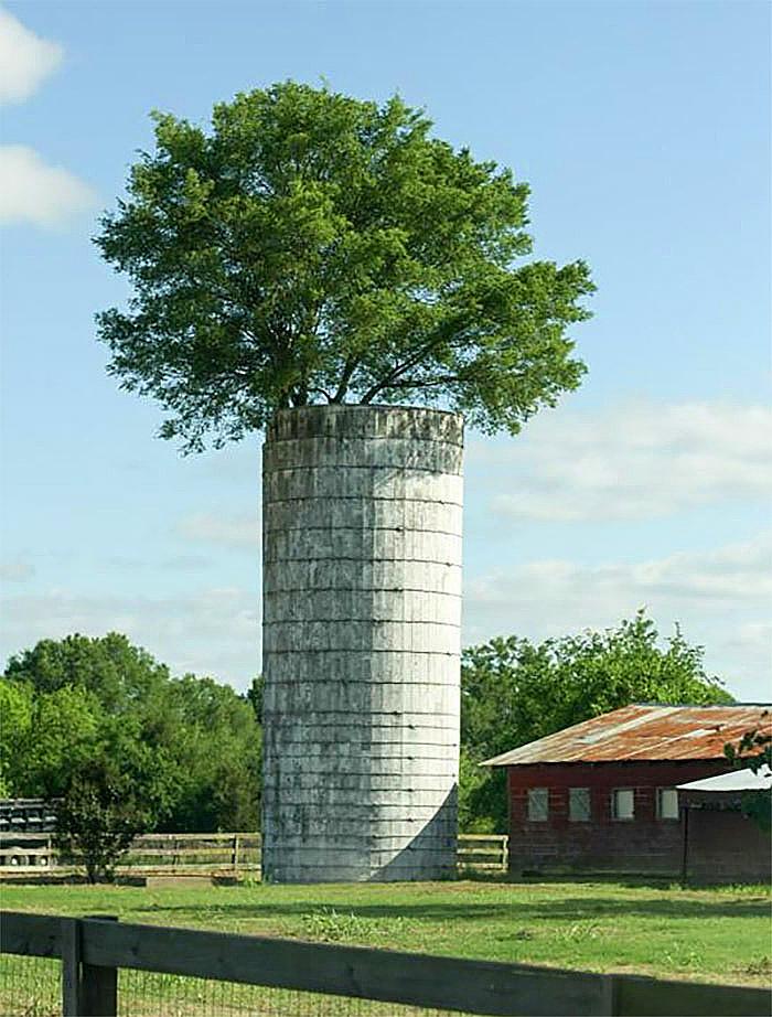 ეს ხე 20 წელიწადზე მეტია სილოსის საცავში იზრდება
