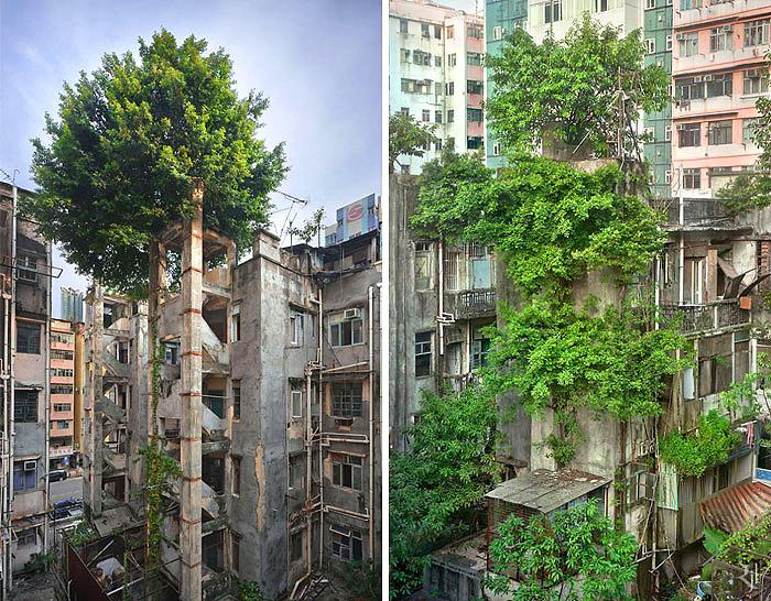 ჰონგ-კონგში ხეები ბეტონის წინააღმდეგ იბრძვიან