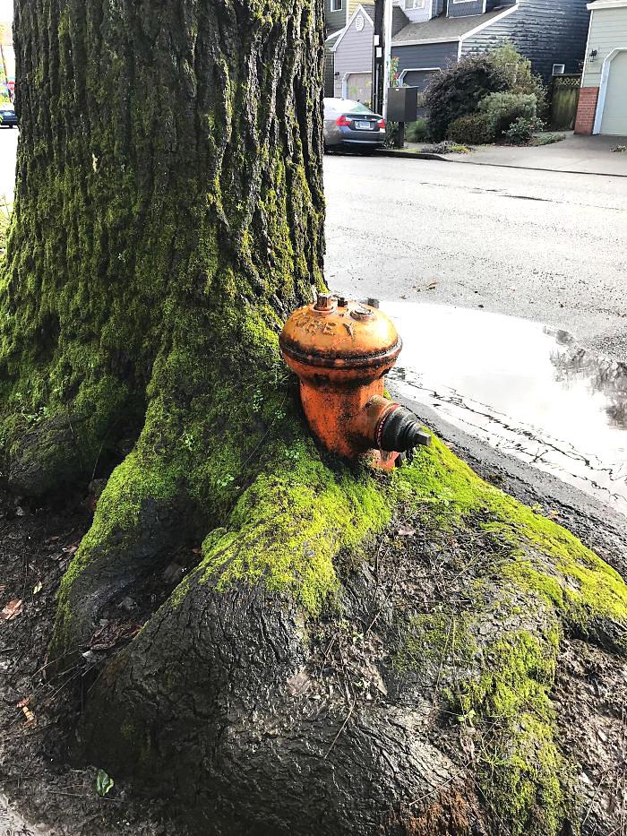 ეს ხე სახანძრო ონკანის გარშემო გაიზარდა