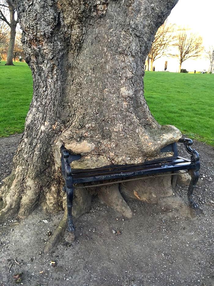 ზრდისას ამ ხეს სკამი გადაუდგა გზაზე. მან ის შეჭამა