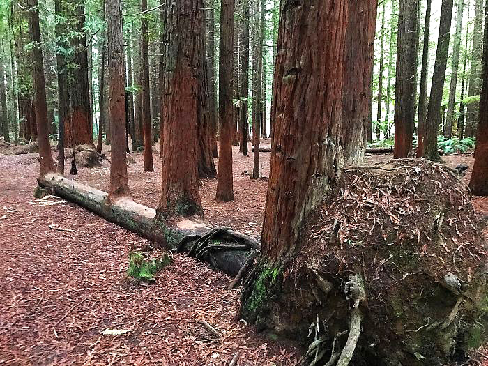ეს ხე წაიქცა, მაგრამ 4 ხის სიცოცხლეს მისცა დასაბამი