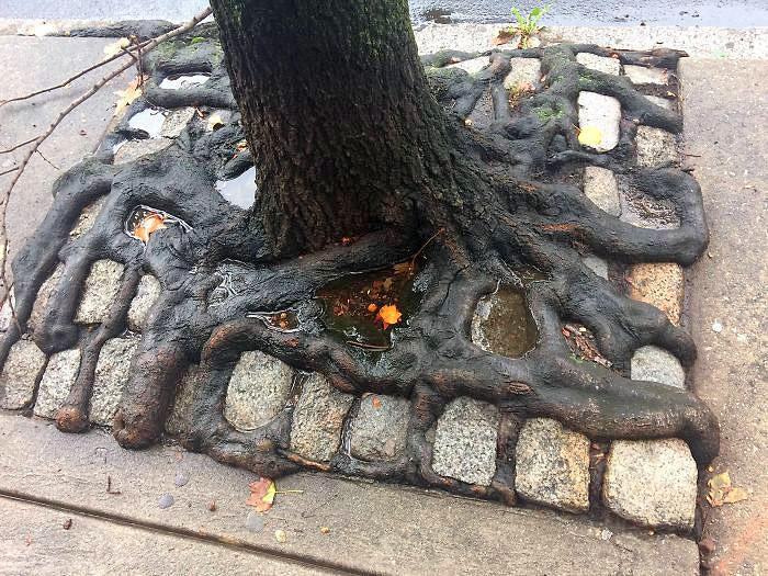 ამ ხის ფესვებმა ქვაფენილში გზის გაკვალვა შესძლეს