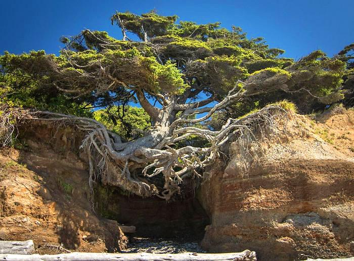 სიცოცხლის ხე, ოლიმპიური ეროვნული პარკი, ვაშინგტონი