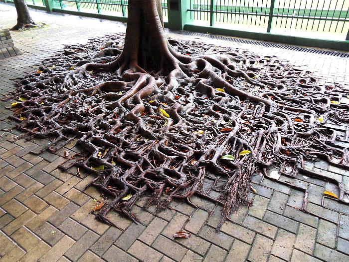 ხის ურჩი ფესვები მთელ ტროტუარზე ამოცოცდნენ