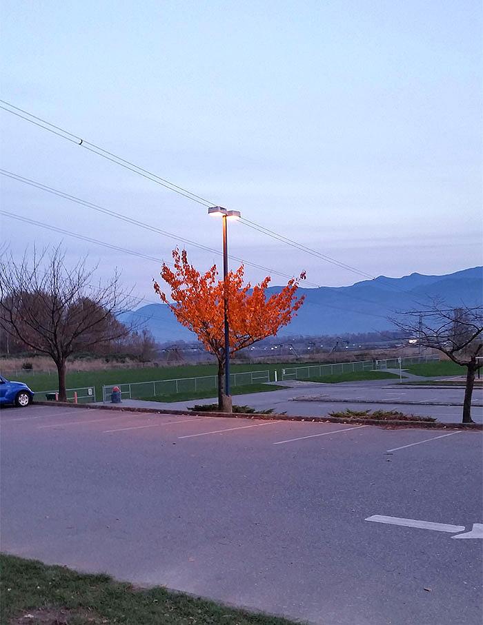 დანარჩენებისგან განსხვავებით, ამ ხეს ჯერ კიდევ ასხია ფოთლები, რადგან განათების ქვეშ იზრდება
